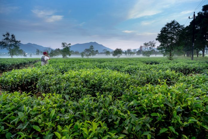Green Tea Comparison With Kratom